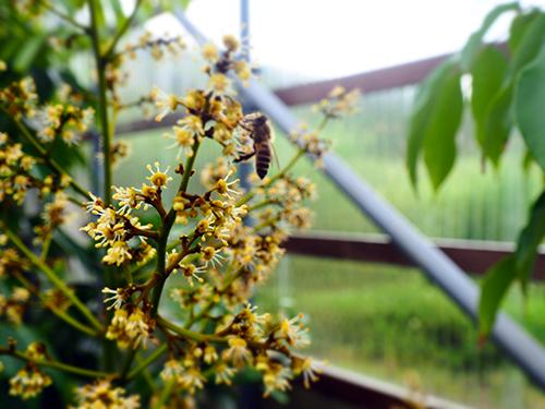 ライチの花